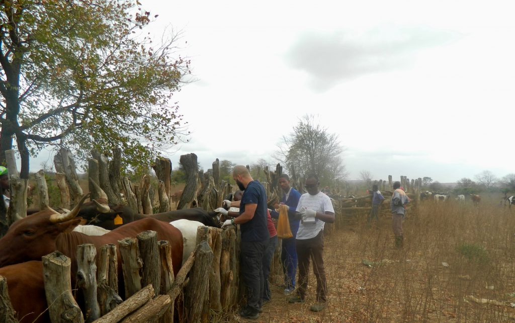 Livestock_massingir
